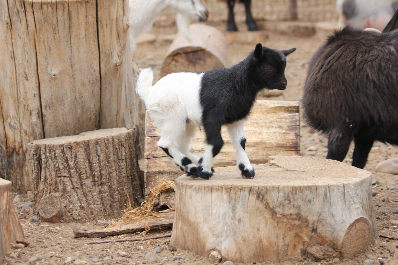 В зоопарке Удмуртии родился камерунский козленок, фото-3