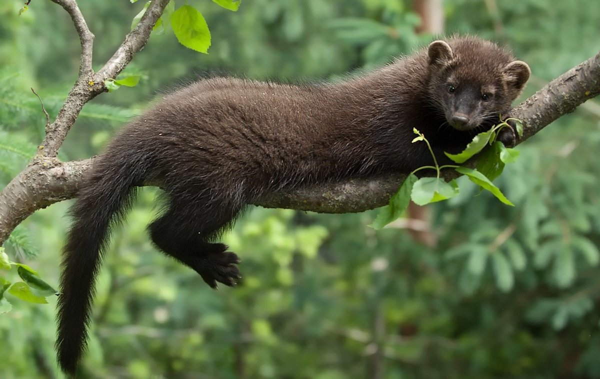 В Зоопарке Удмуртии появится новый обитатель — тайра, фото-1